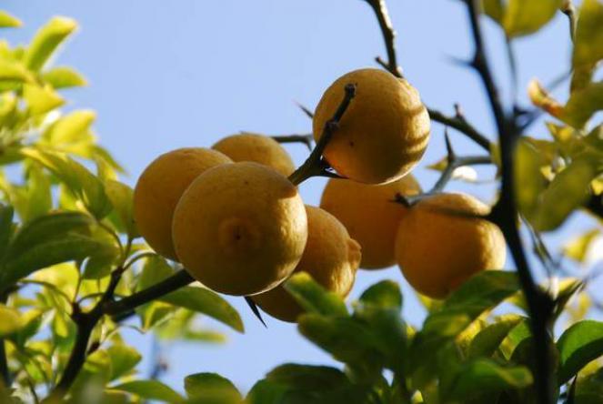 Citronnier pineux bio sc - Citronnier feuilles jaunes ...