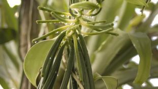 Vanilia sp