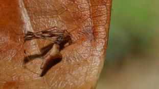 Rhomphaea nasica (Araignée-sabre au nez pointu - Araignée-brindille)