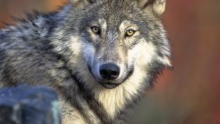 """Canis lupus laying"" by Gary Kramer - This image originates from the National Digital Library of the United States Fish and Wildlife Serviceat this page This tag does not indicate the copyright status of the attached work. A normal copyright tag is still"