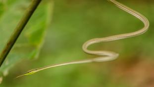 Philodryas argentea (Liane à gorge verte)