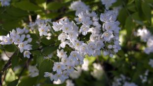 Deutzia glomeruliflora