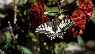 Papillon Machaon porte queue