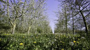 Champs de pommiers en fleurs