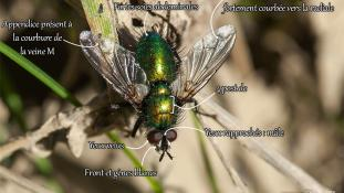 Gymnocheta viridis