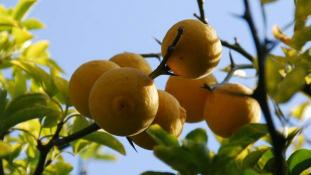 Citronnier épineux