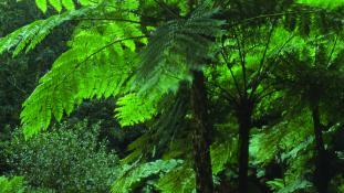 Fougère du Queensland