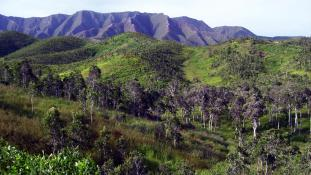 « Savane niaoulis nouvelle caledonie » par Barsamuphe — Travail personnel. Sous licence CC BY 3.0 via Wikimedia Commons - https://commons.wikimedia.org/wiki/File:Savane_niaoulis_nouvelle_caledonie.jpg#/media/File:Savane_niaoulis_nouvelle_caledonie.jpg