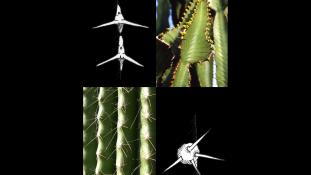 Cactus ou euphorbes ?
