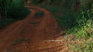Leptophis ahaetulla - (Liane perroquet)