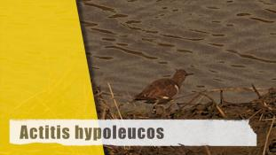 Actitis hypoleucos