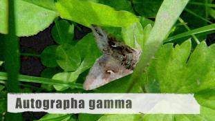 Autographa gamma