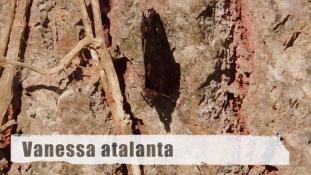 Vanessa atalanta
