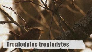 Troglodytes troglodytes