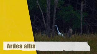 Ardea alba