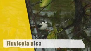 Fluvicola pica