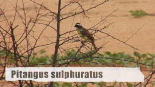 Pitangus sulphuratus