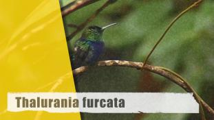 Thalurania furcata