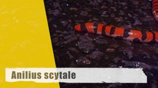 Anilius scytale