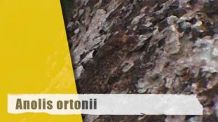 Anolis (Norops) ortonii