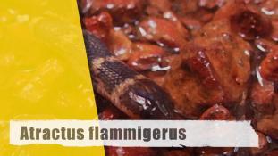 Atractus flammigerus