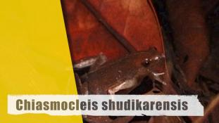 Chiasmocleis shudikarensis