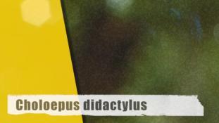 ND-Choloepus didactylus