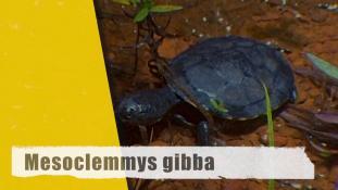 Mesoclemmys gibba