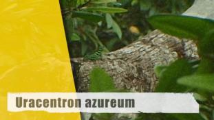 Uracentron azureum