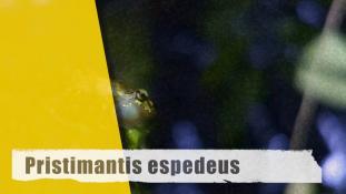 Pristimantis espedeus