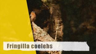 Fringilla coelebs