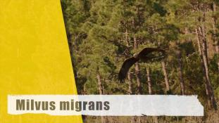 Milvus migrans