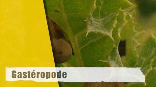 ND-Gastéropode