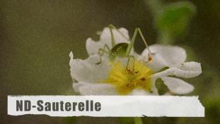 ND-Sauterelle