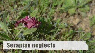 ND-Serapias neglecta