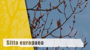 Sitta europaea