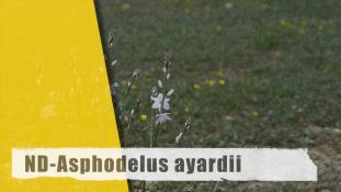 ND-Asphodelus ayardii