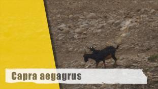 Capra hircus