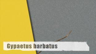 Gypaetus barbatus