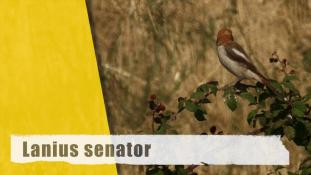 Lanius senator