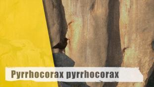 Pyrrhocorax pyrrhocorax