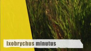 Ixobrychus minutus
