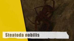 Steatoda nobilis - 2/3