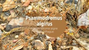 Psammodromus algirus