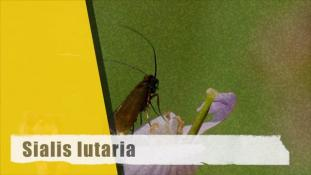 ND-Sialis lutaria