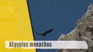 Aegypius monachus