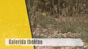 Galerida theklae