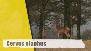 Cervus elaphus
