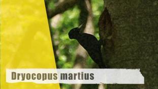 Dryocopus martius