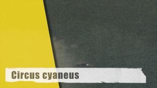 Circus cyaneus